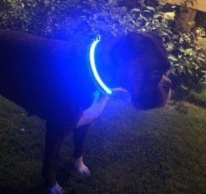 En hund med lysende halsbånd med GPS på